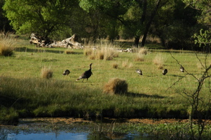 ranch-turkey-flock2.jpg