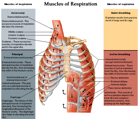 between lungs and chest wall is shown along with the general anatomy ...