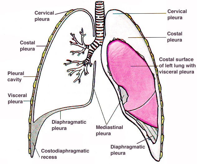 Organs In Abdominopelvic Regions besides 1405469 in addition Showthread as well E Cigarettes NO Better Regular Smoking Toxins Devices Cause Cancer Nicotine FREE also Body Plans. on body cavities and organs in them